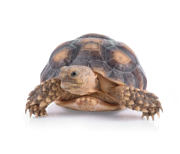 Tortue isolé sur blanc Photo Premium