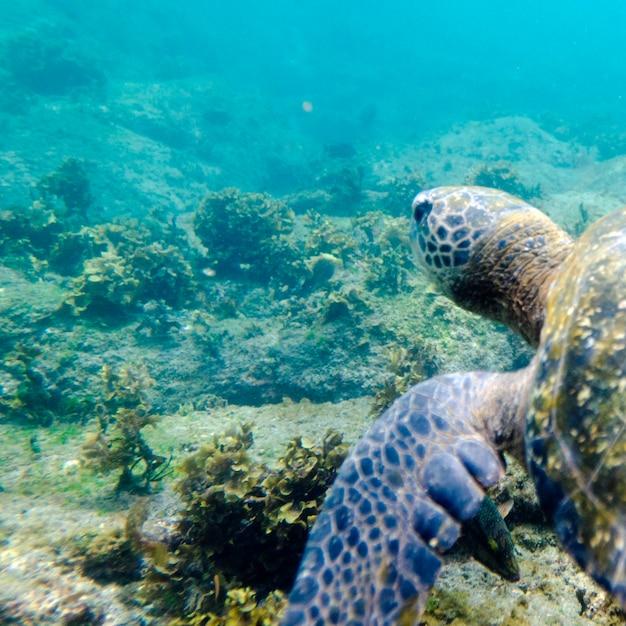 Tortue de mer nageant sous l'eau, puerto egas, île de santiago, îles galapagos, équateur Photo Premium