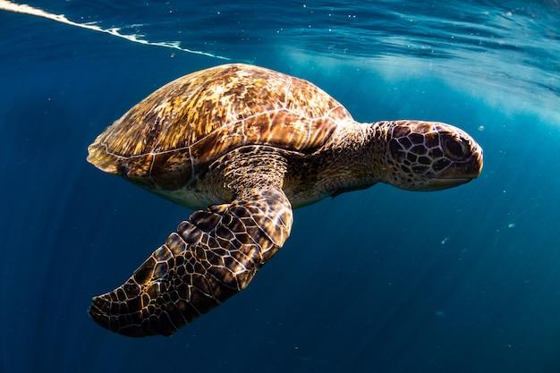 Tortue Nager Dans La Mer Bleue Photo Premium