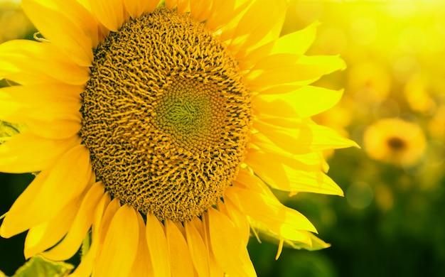 Tournesol au coucher du soleil se bouchent Photo Premium