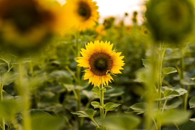 Tournesol au point dans un champ Photo gratuit