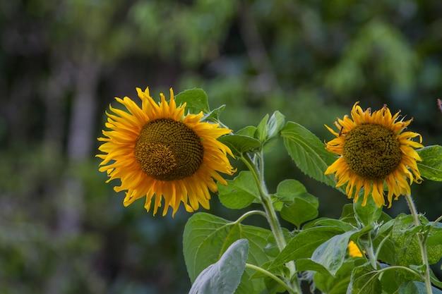 Tournesol jaune en fleur Photo Premium
