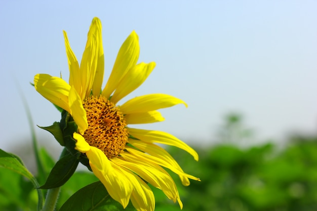 Tournesol Photo Premium