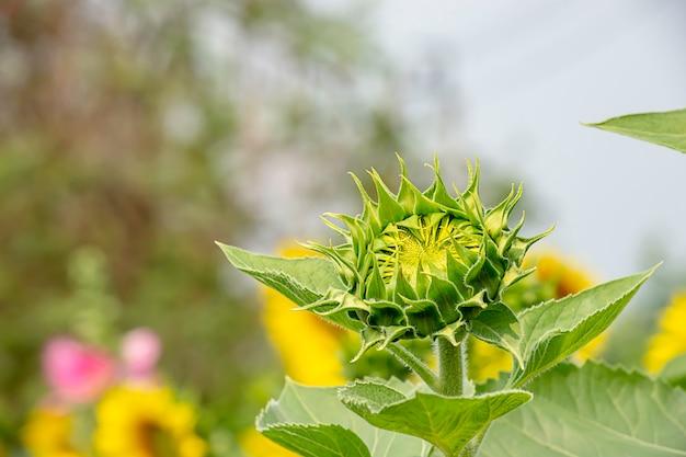 Tournesols ou helianthus annuus dans le jardin. Photo Premium