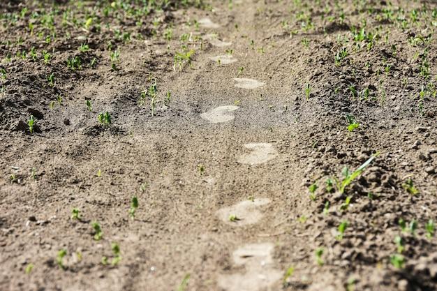 Les traces d'un homme pieds sur un champ agricole gâtent les jeunes plantes Photo Premium