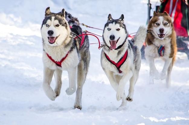 Traîneau à chiens. siberian husky attelage de chiens de traîneau. Photo Premium