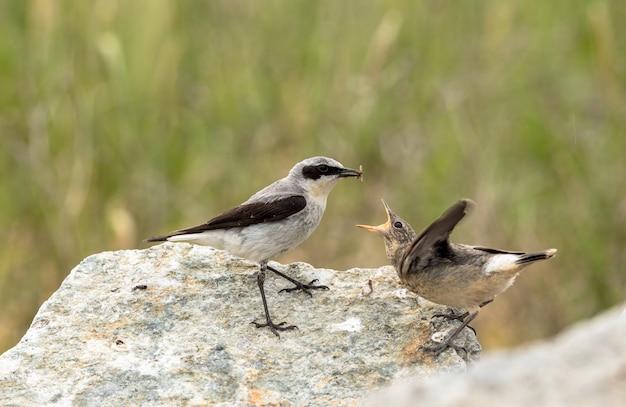 Traquet Motteux, Oenanthe Oenanthe, Un Oiseau Mâle En Plumage Nuptial, Sur Le Point De Nourrir Ses Jeunes Avec Un Insecte. Photo Premium