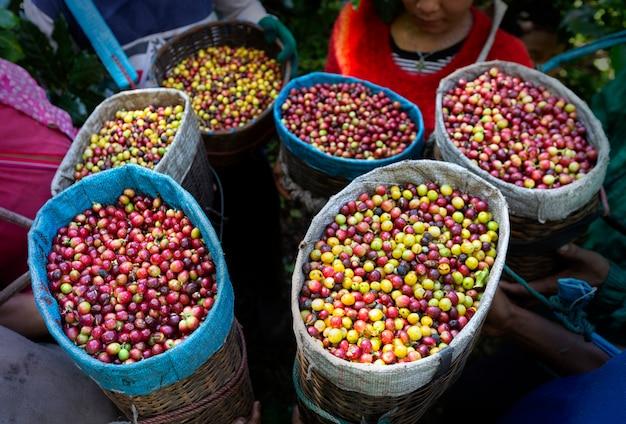 Travailleur récolter des baies de caféier arabica dans sa branche, secteur de l'économie et de l'agriculture Photo Premium