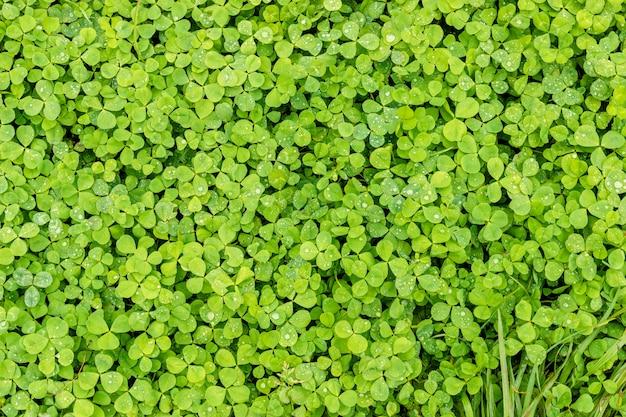 Trèfle Vert. Fond Ou Texture Des Feuilles Du Shamrock Avec Des Gouttes De Rosée. Photo Premium