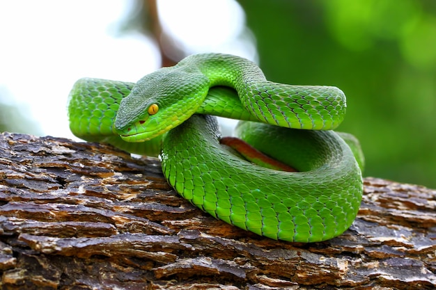 Trimeresurus Albolabris, Serpents Insulaires Aux Lèvres Blanches, Faune, Serpents Vipères Verts Photo Premium