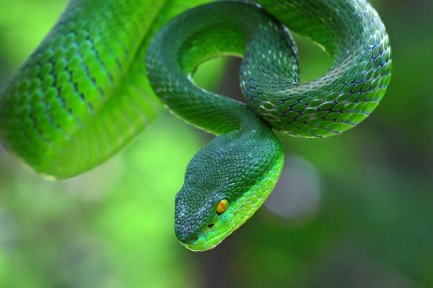 Trimeresurus Albolabris, Serpents Insulaires Aux Lèvres Blanches, Serpents Vipères Verts Photo Premium