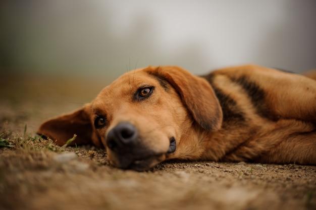 Triste chiot brun allongé sur un sol Photo Premium