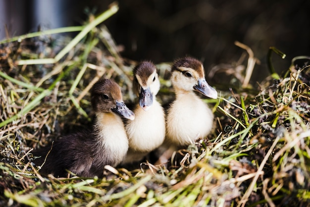 Trois Canards Colvert Sur L'herbe Photo gratuit
