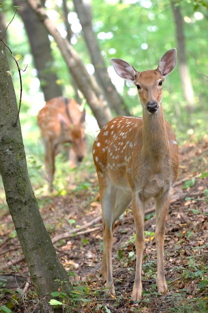 Trois Cerfs En Alerte Sur Une Pente Dans Les Bois. Mâle Femelle Et Petit Cerf. Photo Premium