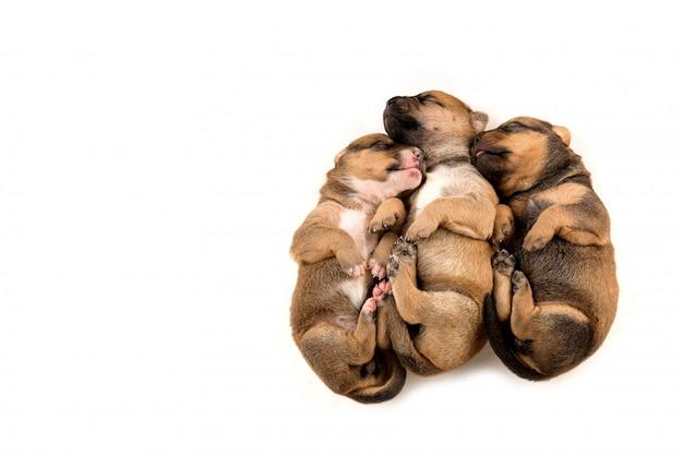 Trois chiot nouveau-né sur la vue de dessus de fond blanc Photo Premium