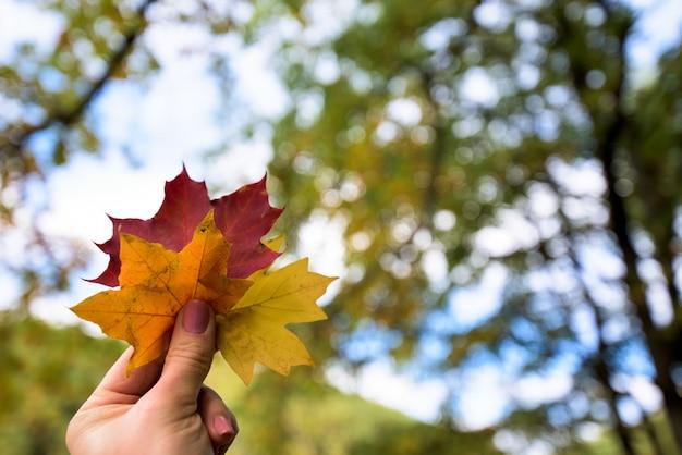 Trois feuilles d'érable à l'automne jaune, orange et rouge dans la main de la jeune fille. forêt d'automne. Photo Premium