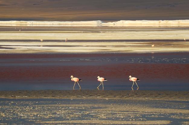 Trois flamants roses marchant avec beaucoup d'autres dans la distance, laguna colorada Photo Premium