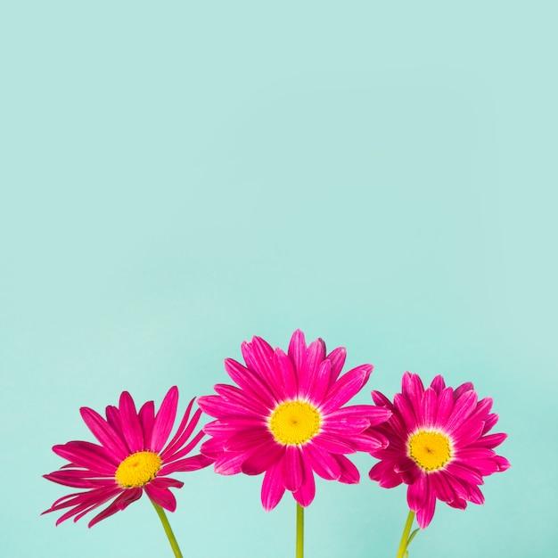 Trois fleurs de pyrèthre rose sur fond bleu. Photo Premium