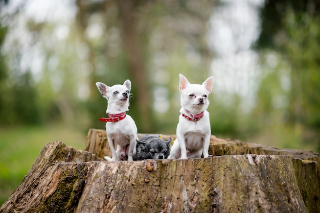 Trois Petits Chiots Chihuahua Drôles Assis Sur Un Arbre Dans La Forêt D'été Photo Premium