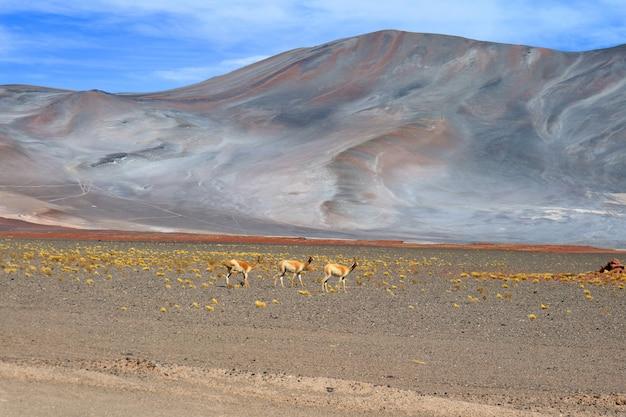 Trois de la vigogne sauvage au pied des andes chiliennes, au nord du chili Photo Premium