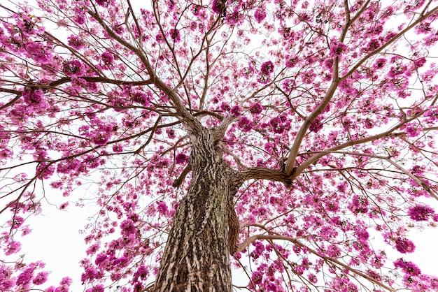 Trompette rose sur l'arbre sans feuille, vue de la fourmi Photo Premium
