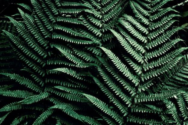 Tropical vert foncé avec fond. feuilles naturelles de fougère. feuille de fougère dans les jungles. texture abstraite. Photo Premium