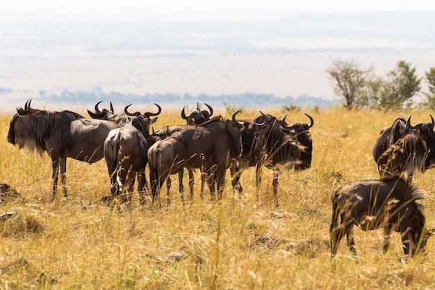 Un Troupeau D'antilopes Sauvages Dans La Savane Masai Mara Kenya Photo Premium