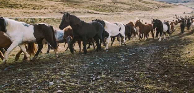 Troupeau de beaux chevaux islandais à cheval vers la réunion à la ferme Photo Premium
