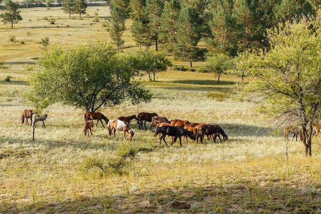Troupeau De Chevaux Mangeant De L'herbe Dans Un Pâturage Mongolie Photo Premium