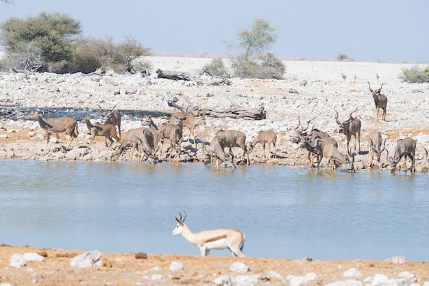 Troupeau de kudu buvant au point d'eau d'okaukuejo. wildlife safari dans le parc national d'etosha, destination de voyage majestueuse en namibie, en afrique. Photo Premium