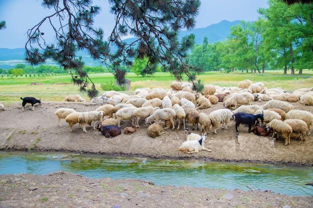 Troupeau de moutons dans les montagnes. voyage en géorgie. Photo Premium