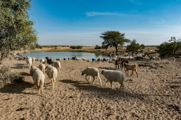 Un troupeau de moutons en inde Photo gratuit