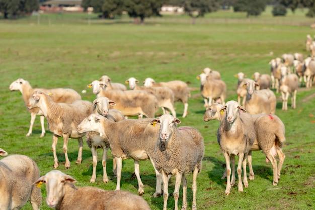 Troupeau de moutons Photo Premium