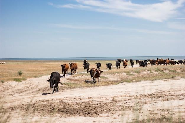 Un troupeau de vaches en mer en ukraine. Photo Premium