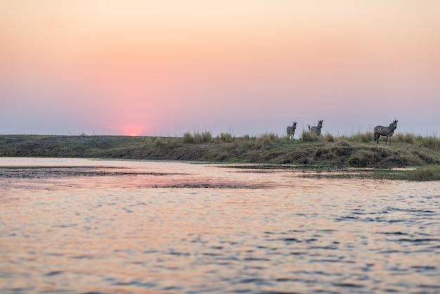 Troupeau de zèbres marchant dans la brousse en contre-jour au coucher du soleil. lumière du soleil colorée pittoresque à l'horizon. wildlife safari dans les parcs nationaux africains et les réserves fauniques. Photo Premium