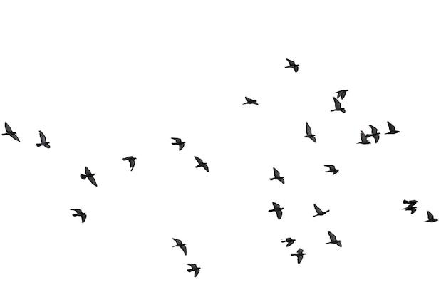 Troupeaux de pigeons en vol isolés sur blanc. tracé de détourage. Photo Premium