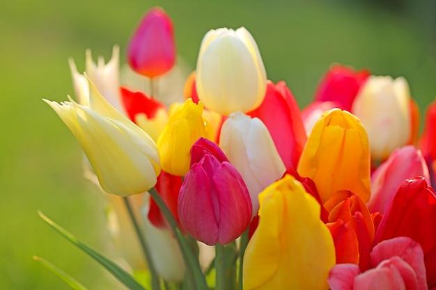 Tulipe fleur bouquet de tulipes printanières colorées Photo Premium