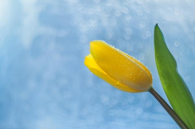 Tulipe jaune avec une feuille verte et une tige avec des gouttes de rosée sur les pétales sur un beau fond bleu, bokeh. Photo Premium