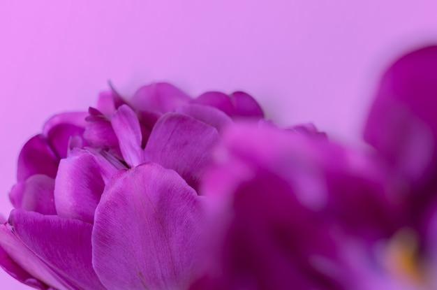 Tulipe pourpre foncé sur fond rose Photo Premium