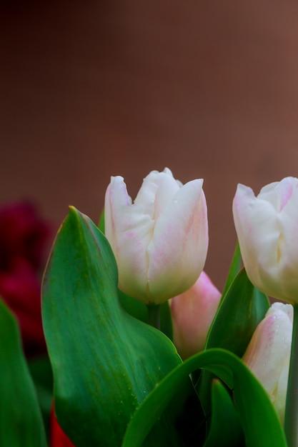 Tulipes blanches avec des gouttes de pluie dans la lumière du matin. Photo Premium
