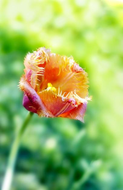 Tulipes dans le jardin Photo Premium