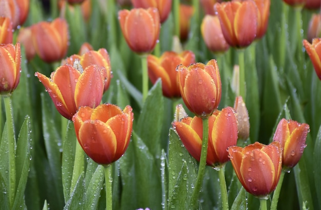 Tulipes Orange Dans Un Beau Jardin Photo Premium