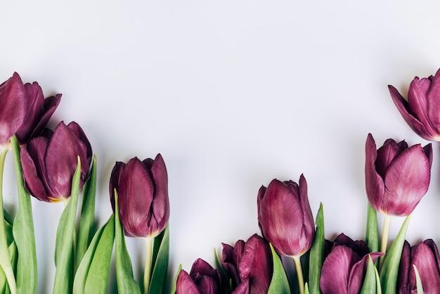 Tulipes pourpres sur fond blanc Photo gratuit