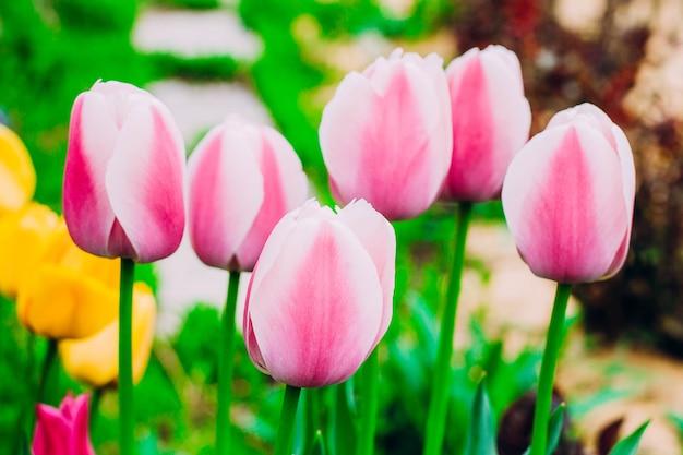 Tulipes roses en fleurs dans le jardin. Photo Premium