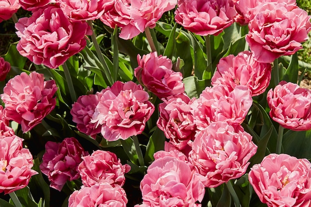 Tulipes roses. fleurs. vue de dessus Photo Premium