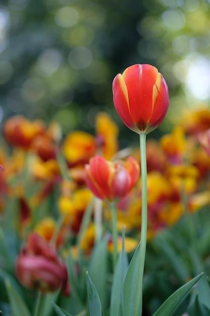 Tulipes rouges et jaunes sous le soleil printanier avec des feuilles vertes en arrière-plan Photo Premium