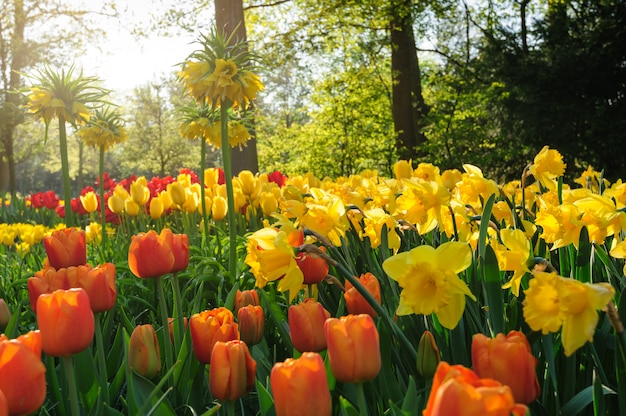 Tulipes rouges des pays-bas dans les rayons du soleil couchant Photo Premium