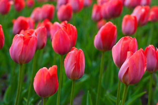 Tulipes rouges Photo gratuit