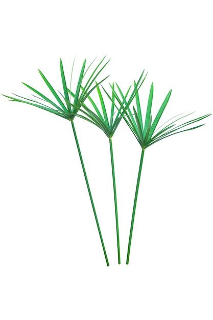 Usine de parapluie, papyrus, cyperus alternifolius. isolé Photo Premium