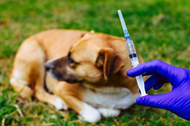 Vaccination sans-abri, animaux errants contre la rage et les maladies. protection antivirus. médecine, animal de compagnie, soins de santé des animaux. injection de vaccin au chien Photo Premium